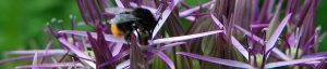 Photograph of a bee on a purple allium flower