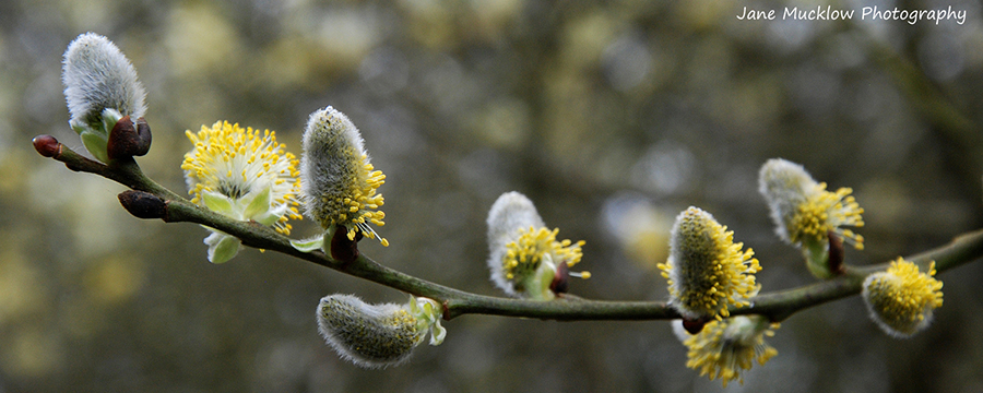 Fluffy yellow and grey pussy willow photo by Jane Mucklow Photography