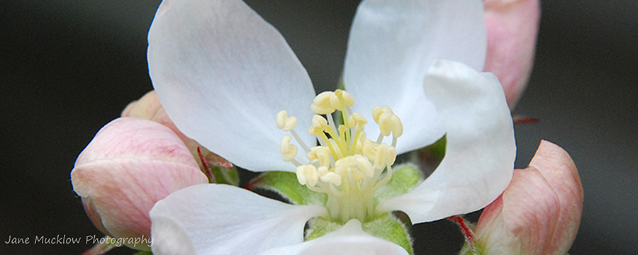 Pinky white apple blossom photo by Jane Mucklow Photography