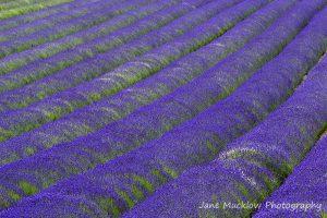 Landscape photo of lavender growing at Castle Farm Shoreham Kent by Jane Mucklow Photography