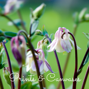 Photo of pinky-white aquilegia flowers, Prints & Canvases page image