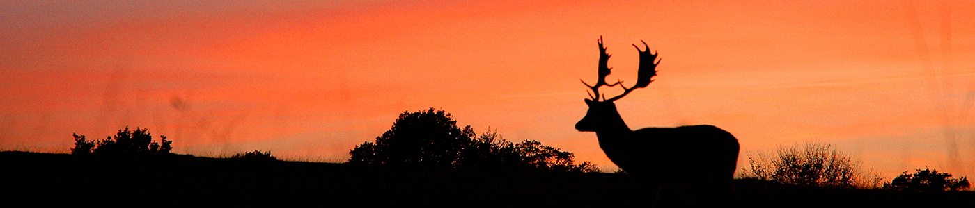 Silhouette of a stag against an orange sunset sky