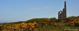Cornish mine and yellow gorse