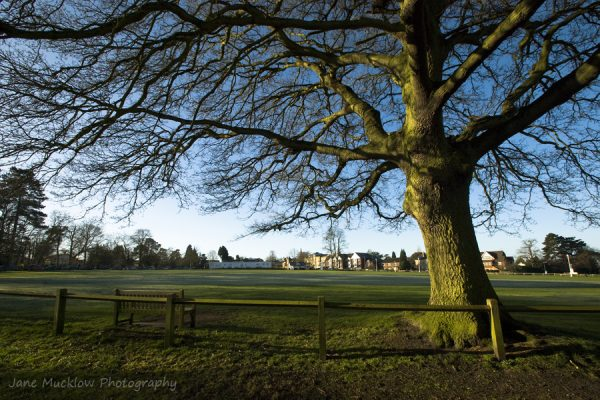 Early morning view across the Vine Cricket Ground to Sevenoaks, the sun lighting up the only remaining oak tree, photo by Jane Mucklow Photography