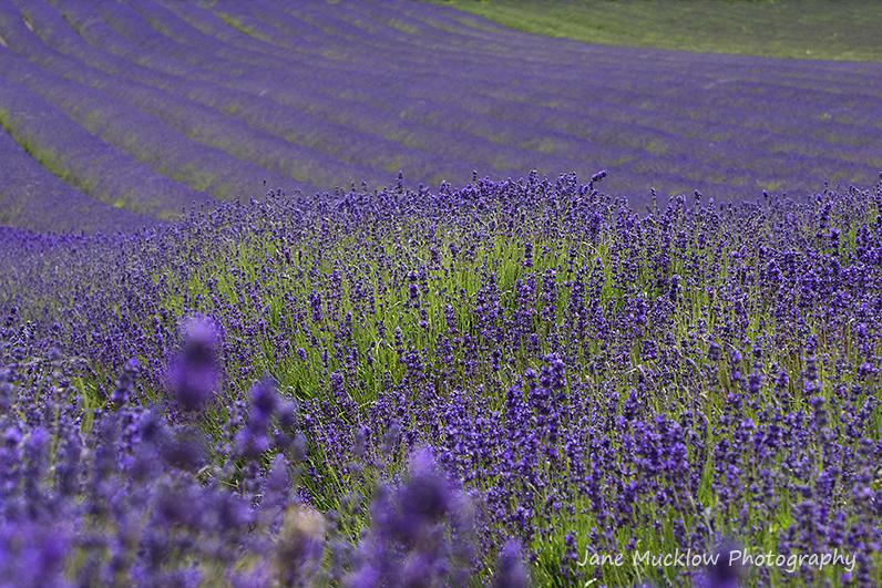 Photograph of a lavender field by Jane Mucklow