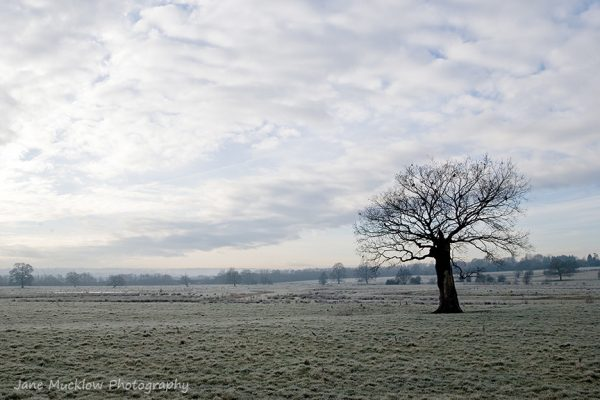 Photograph of a lone tree on a frosty winter's morning by Jane Mucklow