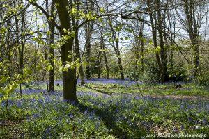 Bluebells at Dene Park, Tonbridge, photo by Jane Mucklow Photography