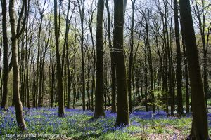 Bluebells and trees at Andrews Wood, near Polhill, Sevenoaks, photo by Jane Mucklow Photography