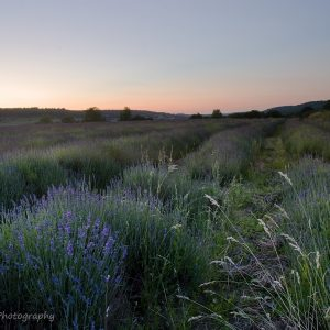 Photograph of a lavender field with some sunset colour in the sky by Jane Mucklow Photography
