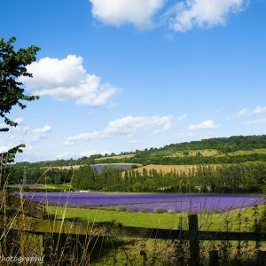 View across the lavender fields, fence in the foreground, blue sky above, photo by Jane Mucklow Photography
