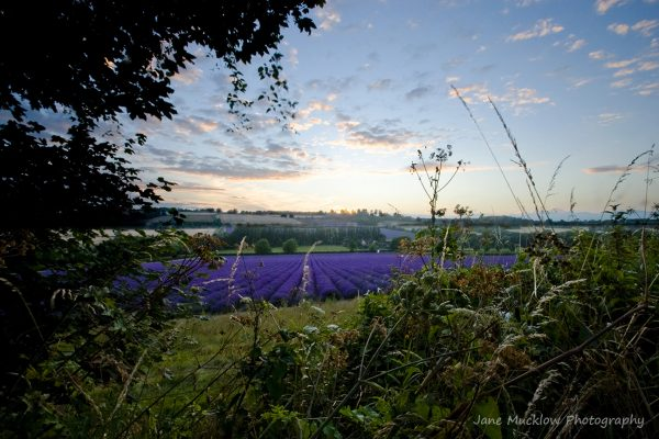 Photograph of a lavender farm at sunset by Jane Mucklow