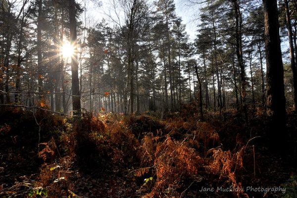 Photograph by Jane Mucklow of sunshine through Broadwater Forest, Tunbridge Wells