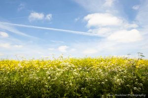 White cow parsley in front of yellow oilseed rape flowers, under a blue sky, photo by Jane Mucklow Photography