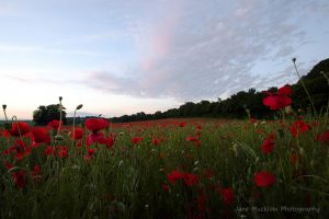 Photograph of a poppy field at sunset by Jane Mucklow