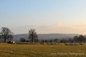 Farmer and trailer, followed by a line of sheep and lambs, frosty sunrise view across the fields between Sevenoaks and Otford, photo by Jane Mucklow Photography