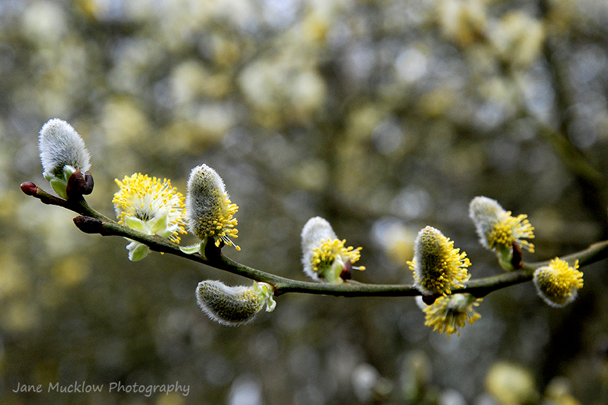 Photograph of yellow and grey pussy willow, on an out of focus yellow and grey background, by Jane Mucklow