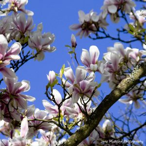 Photograph of pinky-white magnolia, looking up with blue sky behind, by Jane Mucklow