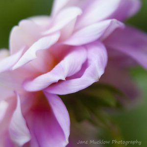 Photograph of the petals of a pink dahlia, on a green background, by Jane Mucklow