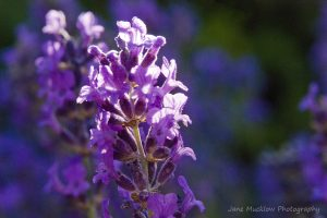 Photograph of a stalk of lavender, side lit by late afternoon sun, by Jane Mucklow Photography