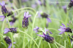 Photograph of purple french lavender on a green background, by Jane Mucklow Photography