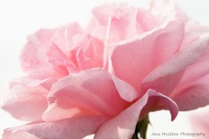 Photograph of a pink rose, with early morning dewdrops, by Jane Mucklow