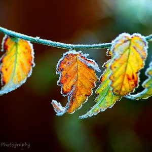 Photograph of frosty autumn leaves by Jane Mucklow