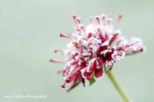 Photograph of a red knautia flower, covered in white frost, on a pale green (out of focus frosty grass) background, by Jane Mucklow