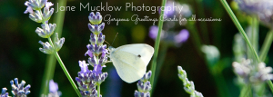 Photograph of a butterfly on lavender by Jane Mucklow, header image for greetings cards
