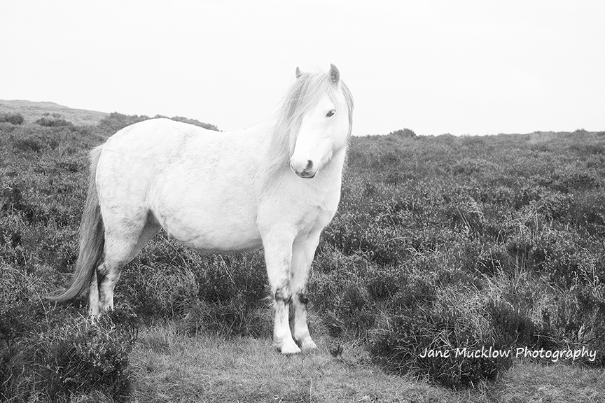 Black and white photograph by Jane Mucklow of a white wild pony, amongst heather, taken in the Shropshire Hills.