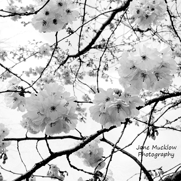 Black and white photograph of cherry blossom by Jane Mucklow