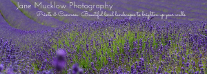 Photograph of a lavender field by Jane Mucklow, header image for prints and canvases