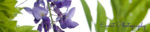 wisteria photo, event photography header image, by Jane Mucklow Photography