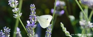 Photograph of a cabbage white butterfly on lavender, by Jane Mucklow