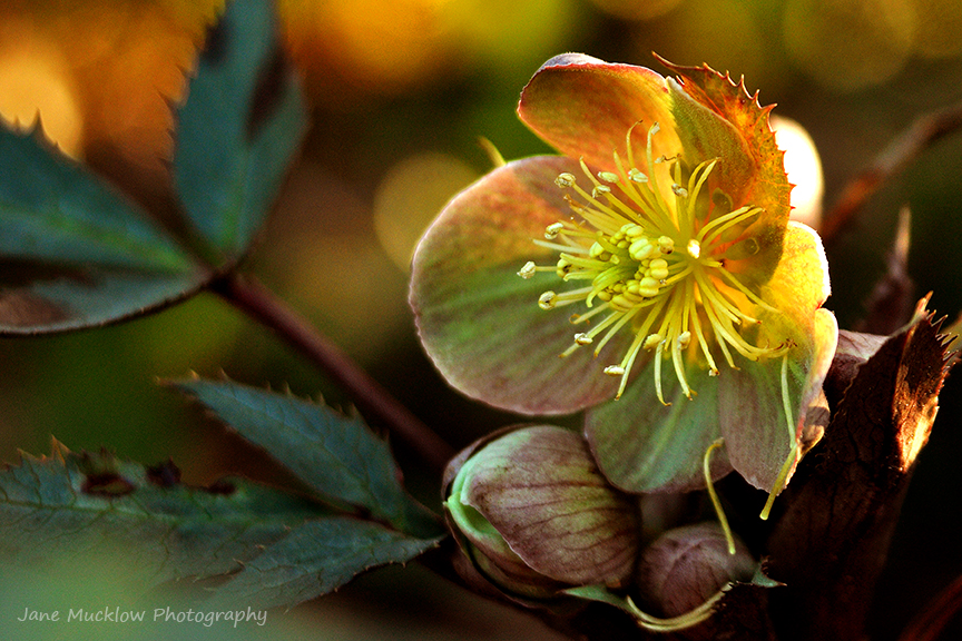 Hellebore in yellows, browns and greens, lit by the sun, photo by Jane Mucklow