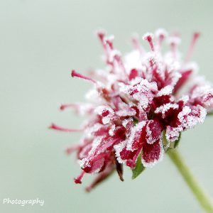Knautia macedonica, maroon flower covered in frost, on a pale green out of focus grass background, photo by Jane Mucklow