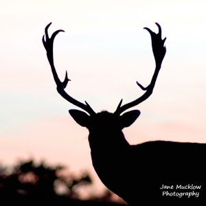 Photo of a Stag, silhouette against a sunset sky, by Jane Mucklow Photography