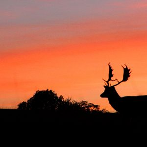 Photograph of the silhouette of a male deer against an orange sunset sky, by Jane Mucklow