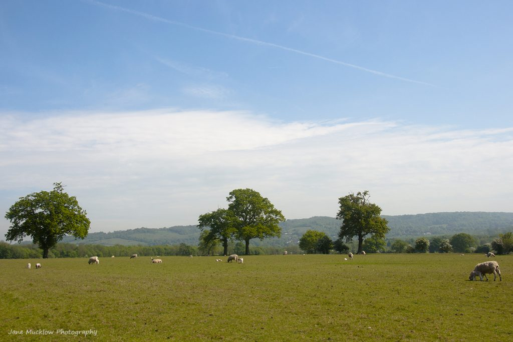 Photograph of sheep and lambs in the fields between Rye Lane and Otford, by Jane Mucklow