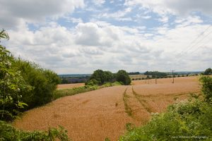 Photograph of the wheat and lavender fields along the train line into Sevenoaks, by Jane Mucklow
