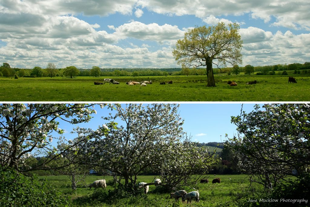Montage of photographs of fields of cows and sheep, for April in the Colours of Kent 2019 Calendar by Jane Mucklow Photography