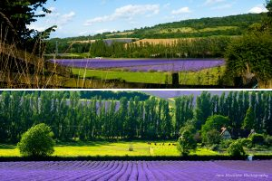 Montage of photographs of Castle Farm lavender farm in Shoreham, for July in the Colours of Kent 2019 Calendar by Jane Mucklow Photography