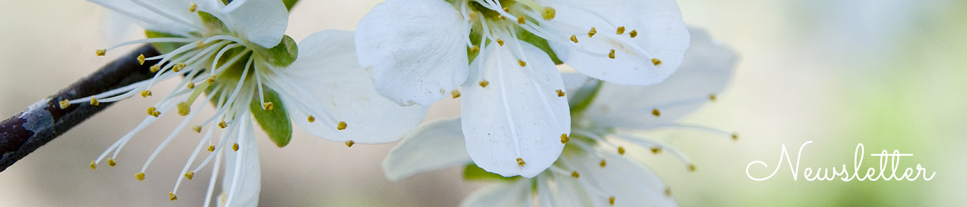 Plum blossom photo by Jane Mucklow, Newsletter Sign Up page header