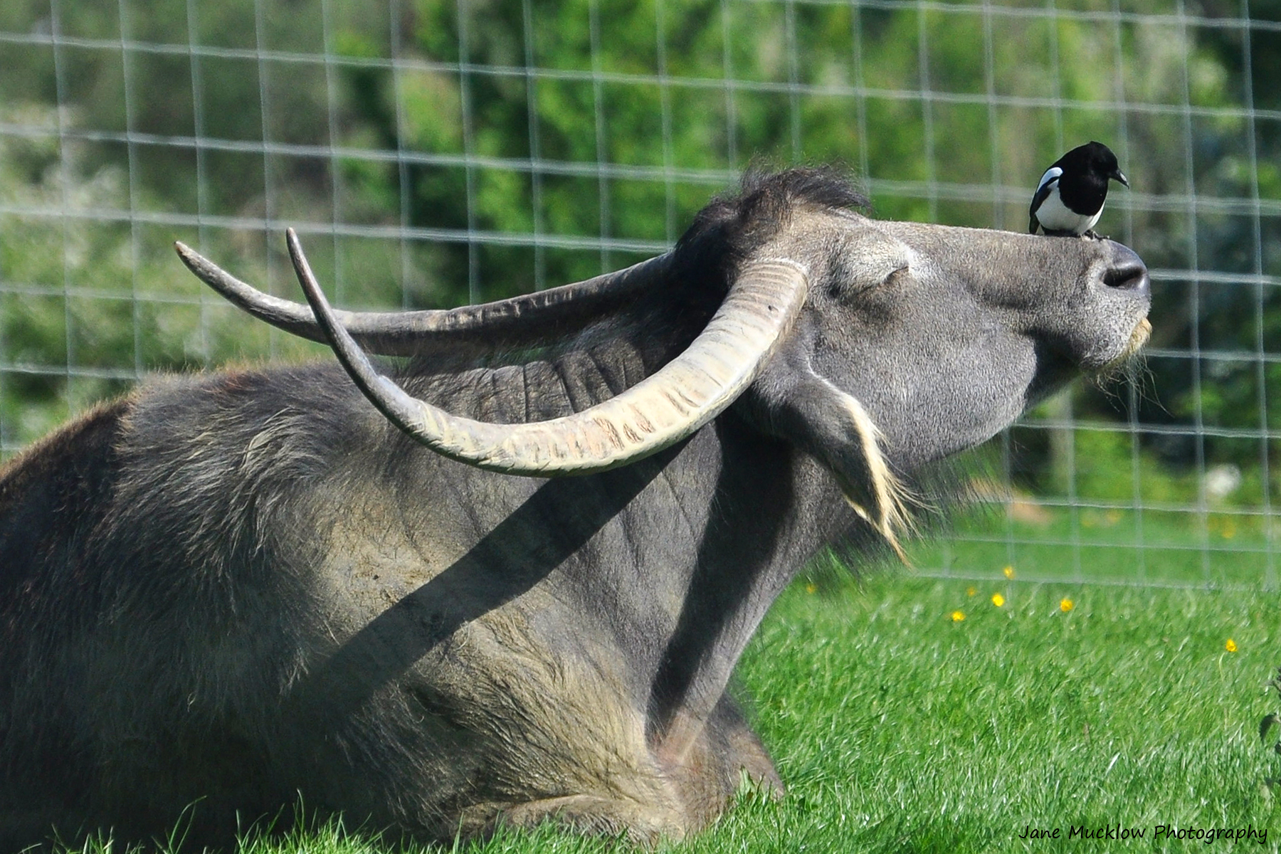 Photo of the safari at the Networkers Networking event at Port Lympne, of a water buffalo and magpie, by Jane Mucklow