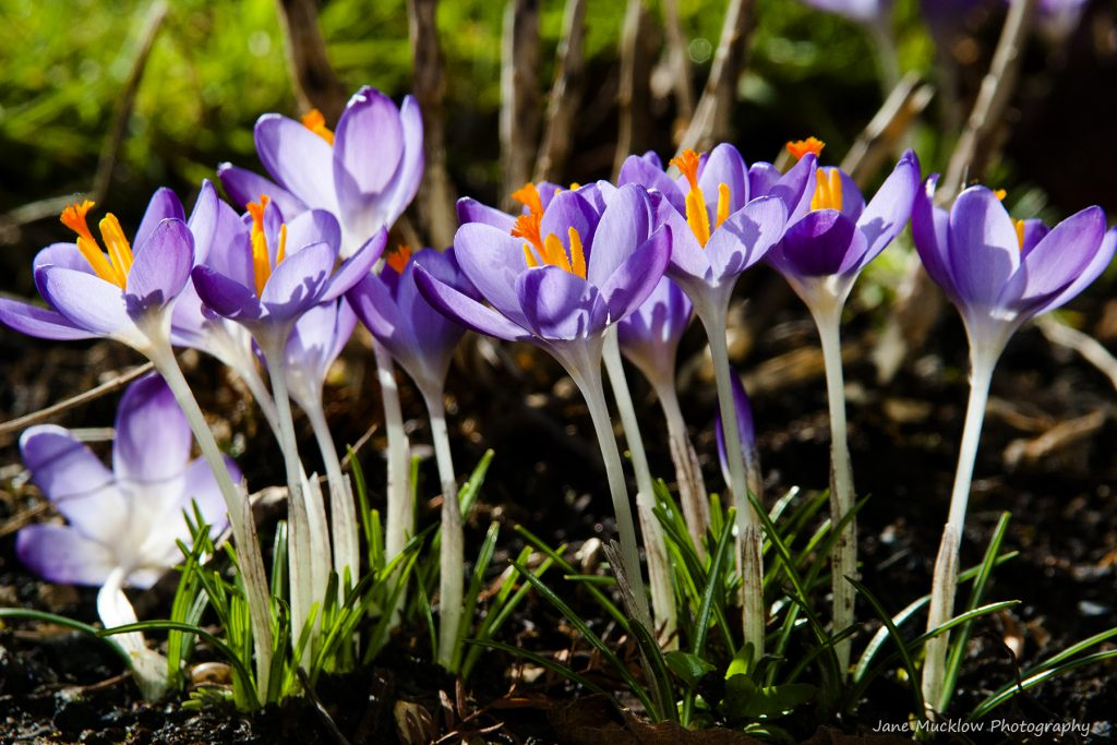 Photograph looking up at some purple crocus by Jane Mucklow