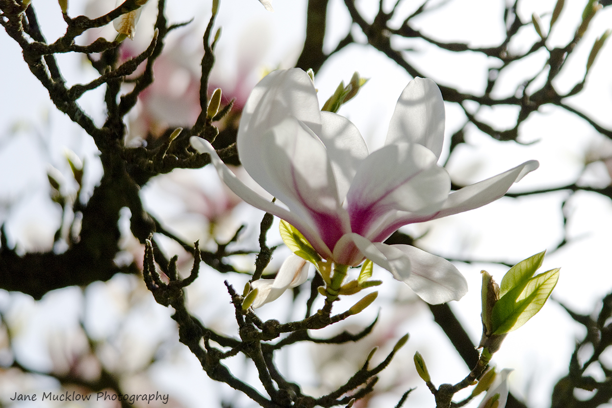 Photograph of a white magnolia blossom and the branches of the tree, with a white background, by Jane Mucklow