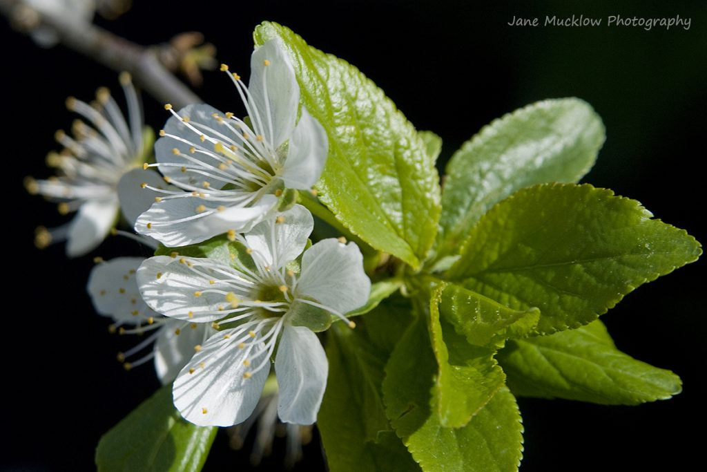 Photograph of a white plum blossom and leaves, with a black background, by Jane Mucklow