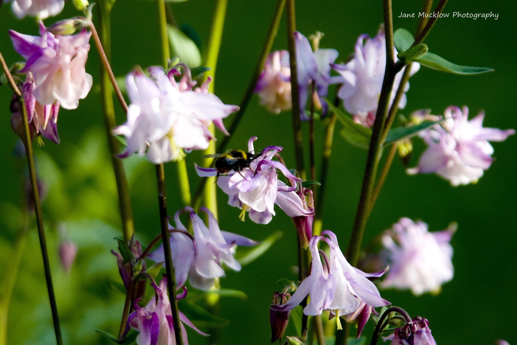 Photograph of pinky-white aquilegia flowers, with a bee, by Jane Mucklow