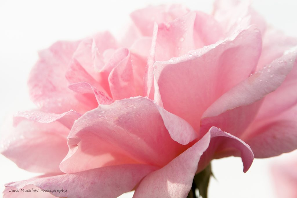 Photograph of pink rose and dewdrops, by Jane Mucklow