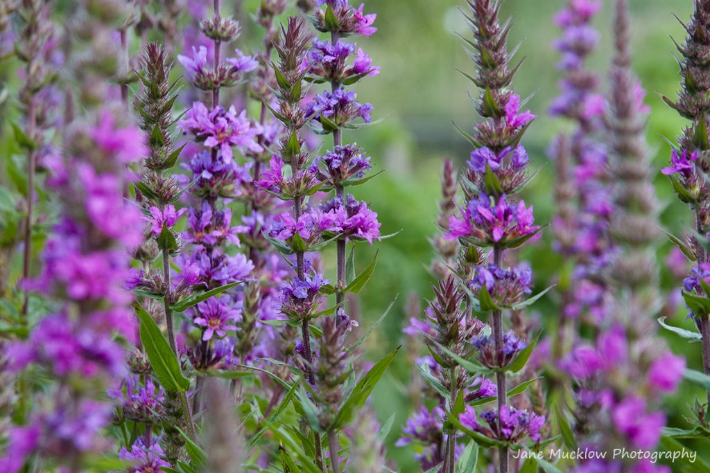 Photograph of pink salvia flowers, by Jane Mucklow