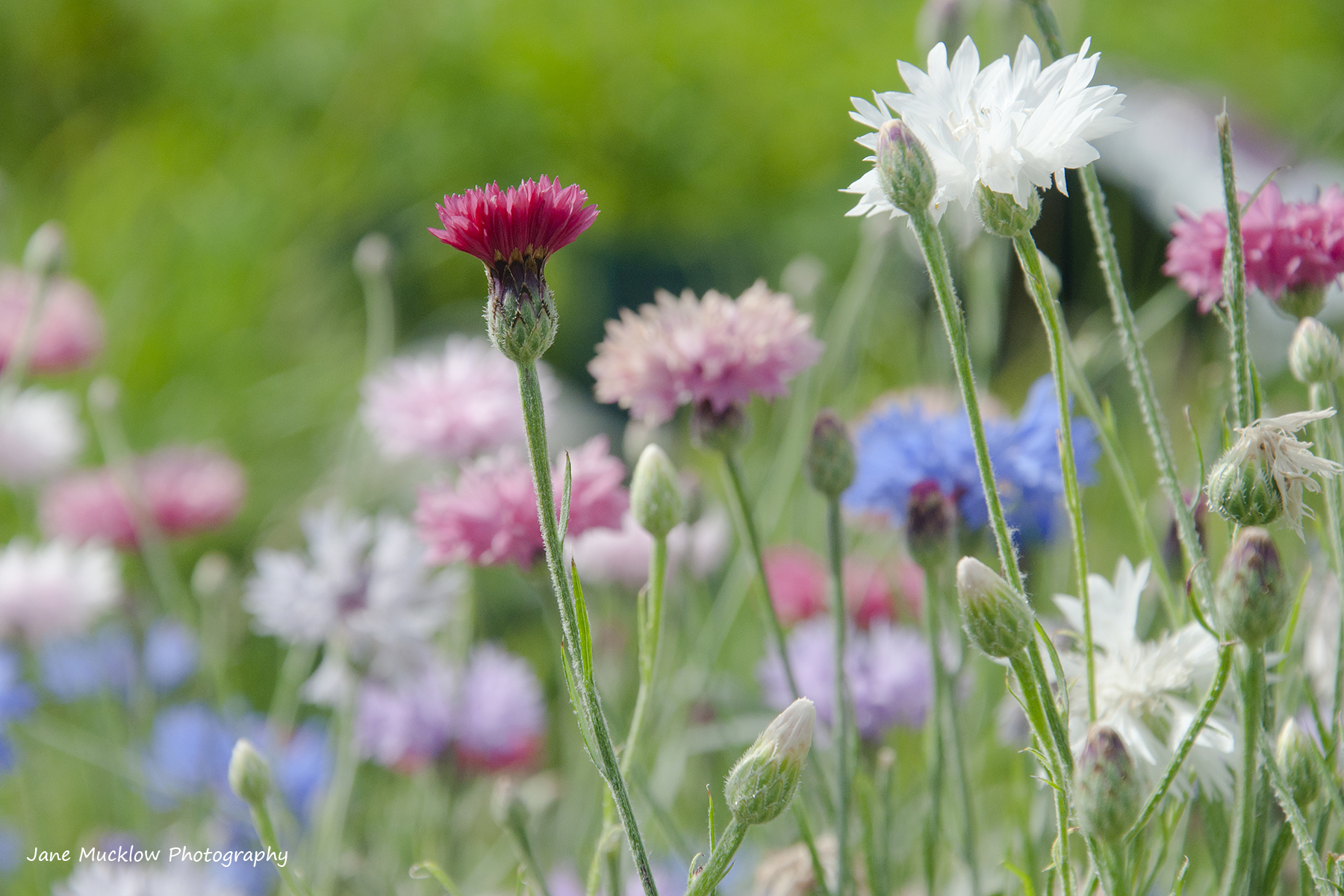 Photograph of pastel coloured cornflowers on a green background, by Jane Mucklow